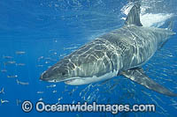 Great White Shark underwater Photo - Andy Murch