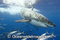 Great White Shark Carcharodon carcharias Photo - Andy Murch