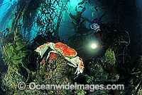 Scuba Diver with Giant Crab Photo - Gary Bell