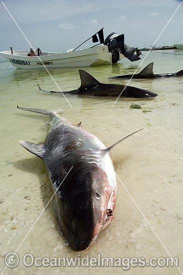 Tiger Shark (Galeocerdo cuvier) in beach shallows. Caught by Shark fishermen on a long-line. Holbox Island, Mexico. Photo - Andy Murch