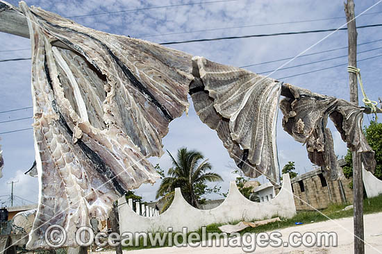 Spotted Eagle Ray wings (Aetobatus narinari) drying in the sun after being caught by fishermen. Holbox Island, Mexico.