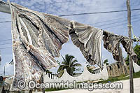 Spotted Eagle Ray wings frying in sun