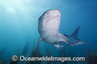 Tiger Shark with Suckerfish attached Photo - Andy Murch