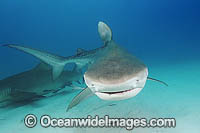 Tiger Shark Galeocerdo cuvier Photo - Andy Murch