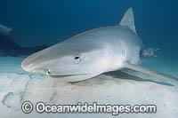 Tiger Shark with protective membrane covering eye Photo - Andy Murch