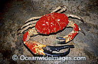 Giant Crab deep water crab image