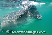 Whale Shark Rhincodon typus feeding Photo - Andy Murch
