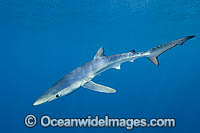 Blue Shark or Oceanic Shark Photo - Andy Murch