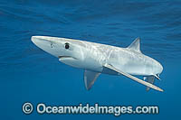 Blue Shark Prionace glauca Photo - Andy Murch