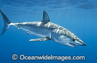 Shortfin Mako Shark Mackeral Shark Photo - Andy Murch