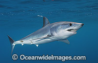 Shortfin Mako Shark Blue Pointer Photo - Andy Murch