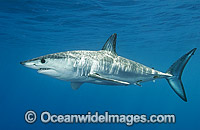 Shortfin Mako Shark Isurus oxyrinchus Photo - Andy Murch