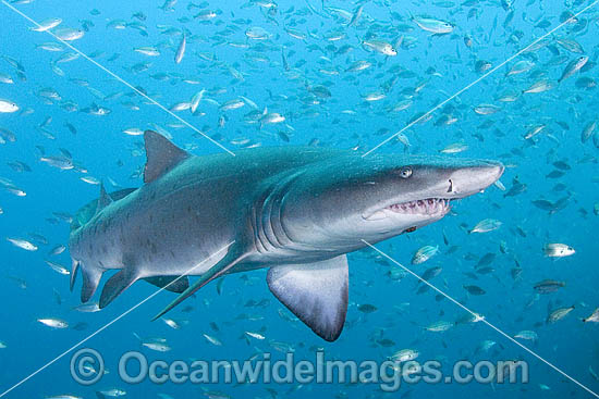 Sand Tiger Shark Carcharias taurus photo