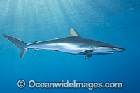 Silky Shark Carcharhinus falciformis Photo - Andy Murch