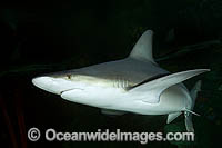 Sandbar Shark Carcharhinus plumbeus swimming at night Photo - Andy Murch