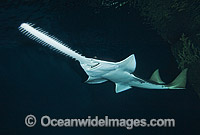 Green Sawfish Pristis zijsron Photo - Andy Murch