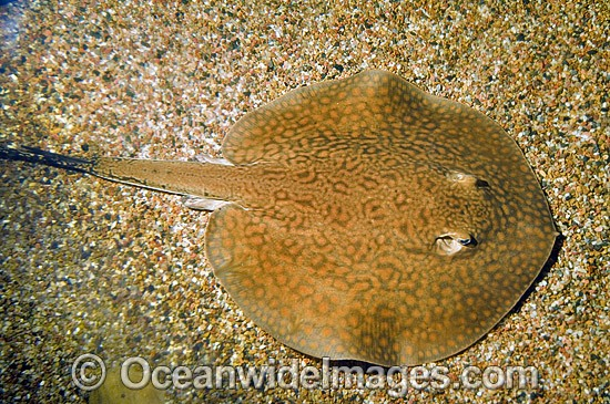 Freshwater Stingray (Potamotrygon castexi). Also known as Tigrillo Ray and Tigrinus Ray. Found in Argentina and Peru, South America Photo - Andy Murch