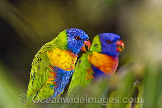 Pair of Rainbow Lorikeets (Trichoglossus haematodus) - male and female. Coffs Harbour, New South Wales, Australia Photo - Gary Bell