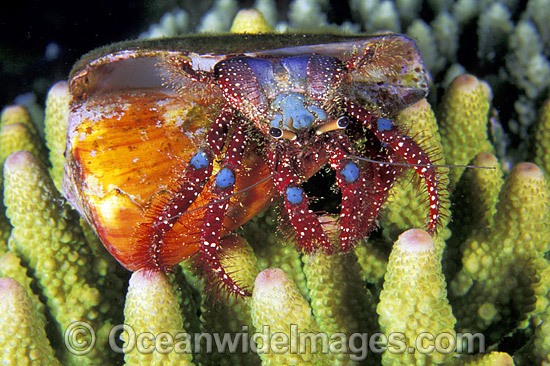 Hermit Crab (Dardanus guttatus) - living in a cone shell. Bali, Indonesia Photo - Gary Bell