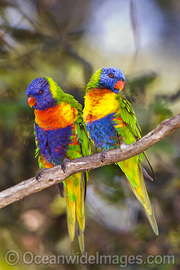 Sexual dimorphism in Rainbow Lorikeets