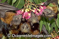 Grey-headed Flying-foxes feeding on pollen