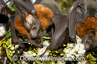 Fruit bat feeding on pollen