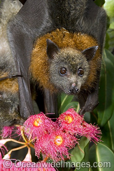 Grey-headed Flying-fox (Pteropus poliocephalus) - feeding on pollen and flower of Eucalypt Flowering Gum tree. Also known as Fruit Bat, Grey-headed Wing-foot and Megabat. Coffs Harbour, NSW, Australia. Listed as Vulnerable species. Photo - Gary Bell