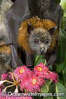 Grey-headed Flying-fox feeding on pollen