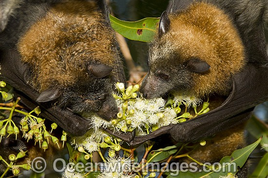 Grey-headed Flying-foxes (Pteropus poliocephalus) - feeding on pollen and flower of Ironbark Eucalyptus tree. Also known as Fruit Bat, Grey-headed Wing-foot and Megabat. Coffs Harbour, NSW, Australia. Listed as Vulnerable species. Photo - Gary Bell