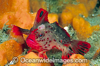 Red Handfish Brachionichthys politus photo