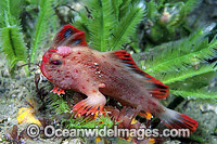 Red Handfish Brachionichthys politus Photo - Gary Bell