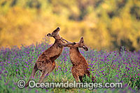Eastern Grey Kangaroo sparring Photo - Gary Bell
