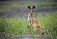 Eastern Grey Kangaroo Photo - Gary Bell