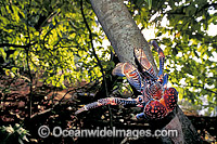 Coconut Crab Birgus latro in Pisonia forest image