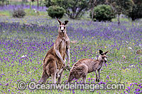 Eastern Grey Kangaroo Macropus giganteus Photo - Gary Bell