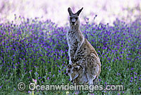 Eastern Grey Kangaroo mother with joey Photo - Gary Bell