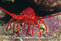 Southern Rock Lobster Photo - Gary Bell