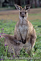 Eastern Grey Kangaroo joey feeding Photo - Gary Bell
