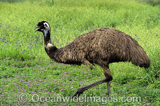 Emu (Dromaius novaehollandiae). Warrumbungle National Park, New South Wales, Australia Photo - Gary Bell
