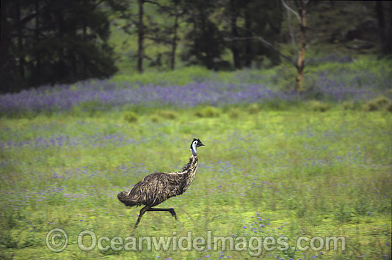Emu (Dromaius novaehollandiae) running at high speed. Warrumbungle National Park, New South Wales, Australia Photo - Gary Bell