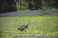 Emu running Photo - Gary Bell