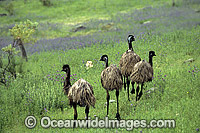 Flock of Emus Dromaius novaehollandiae Photo - Gary Bell
