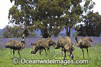 Emus feeding Photo - Gary Bell