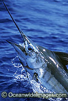 Blue Marlin Makaira mazara Photo - John Ashley