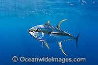 Yellowfin Tuna Photo - Chris & Monique Fallows