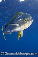 Dolphinfish Coryphaena hippurus Photo - Chris & Monique Fallows