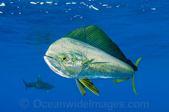 Dolphinfish (Coryphaena hippurus). Also known as Mahi mahi and Dorado. Found throughout the world in tropical and sub-tropical seas. A commercially sought after fish.