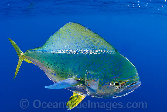 Dolphinfish photo