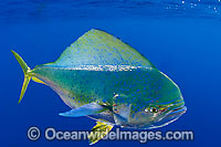 Dolphinfish Photo - Chris & Monique Fallows