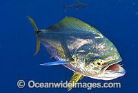 Dolphinfish Coryphaena hippurus photo